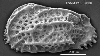 To NMNH Paleobiology Collection (Costa runcinata USNM PAL 190900)