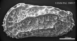 To NMNH Paleobiology Collection (Costa runcinata USNM PAL 190917)