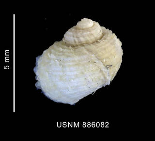 To NMNH Extant Collection (Torellia (Neoconcha) antarctica (Thiele, 1912), shell, dorsal view)