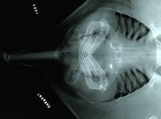To NMNH Extant Collection (Raja oregoni RAD110897-001)