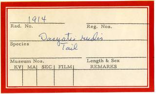To NMNH Extant Collection (Dasyatis rudis RAD110904 Envelope)