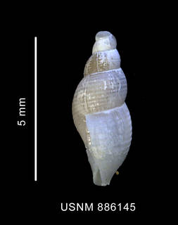 To NMNH Extant Collection (Pareuthria innocens (Smith, 1907), shell, lateral view)