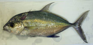To NMNH Extant Collection (Carangoides orthogrammus USNM 423468 photograph lateral view)