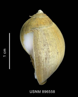 To NMNH Extant Collection (Chlanidota (Pfefferia) palliata (Strebel, 1908), shell, lateral view)