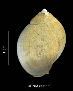 To NMNH Extant Collection (Chlanidota (Pfefferia) palliata (Strebel, 1908), shell, dorsal view)