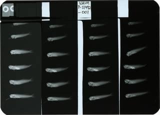To NMNH Extant Collection (Ecsenius caeruliventris RAD110544-001)