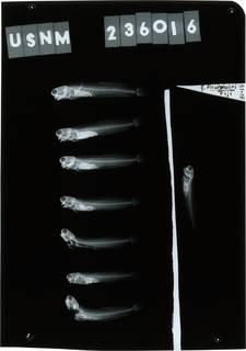 To NMNH Extant Collection (Ecsenius fourmanoiri RAD121550-001)