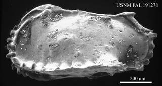 To NMNH Paleobiology Collection (Pterygocythereis sp. USNM PAL 191278)