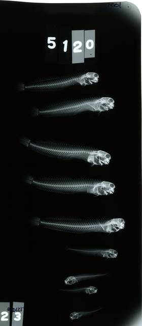 To NMNH Extant Collection (Ecsenius pulcher RAD121707-001)