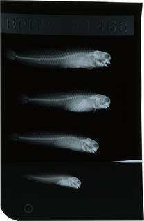 To NMNH Extant Collection (Ecsenius pulcher RAD121763-001)