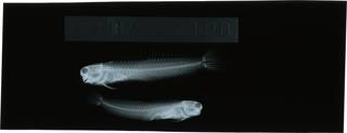 To NMNH Extant Collection (Ecsenius tessera RAD121858-001)