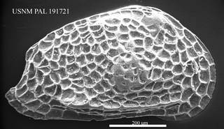 To NMNH Paleobiology Collection (Hemicytheria sp. USNM PAL 191721)