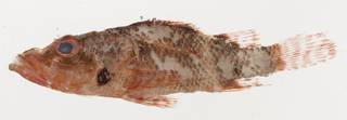 To NMNH Extant Collection (Scorpaenodes minor USNM 425634 photograph lateral view)