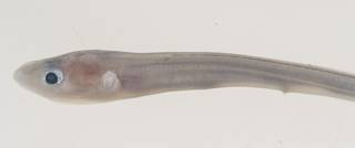 To NMNH Extant Collection (Conger USNM 395298 photograph head lateral view)