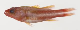 To NMNH Extant Collection (Liopropoma tonstrinum USNM 425630 photograph lateral view)