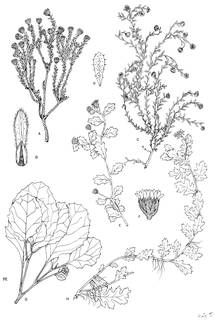 To NMNH Extant Collection (3421_Flowering Branches Hinterhubera, Lastadia & Egletes)