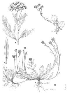 To NMNH Extant Collection (3428_Baccharidastrum, Pseudoconyza & Noticastrum)