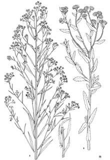 To NMNH Extant Collection (3508_Conyza bonariensis & trihecatactis)