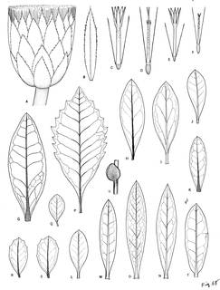 To NMNH Extant Collection (3519_Baccharis macrantha, lehmannii, odorata, teindalensis & cochensis)