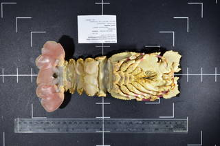 To NMNH Extant Collection (USNM 1420996 : Scyllarides elisabethae ventral view)
