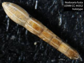 To NMNH Paleobiology Collection (Nodosaria fusta USNM CC 44352 holotype)