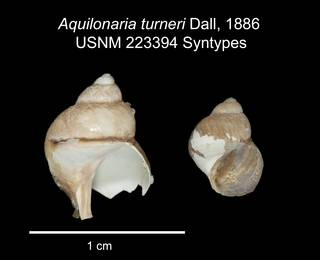 To NMNH Extant Collection (IZ MOL 223394 Syntype shell plate)