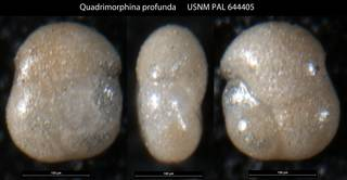To NMNH Paleobiology Collection (Quadrimorphina profunda USNM PAL 644405)