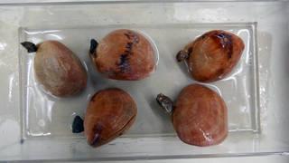 To NMNH Paleobiology Collection (USNM PAL 423558 Terebratalia 02)
