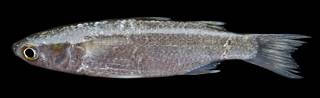 To NMNH Extant Collection (Osteomugil engeli USNM 442245 photograph lateral view)