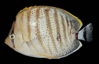 To NMNH Extant Collection (Chaetodon multicinctus USNM 442443 photograph lateral view)
