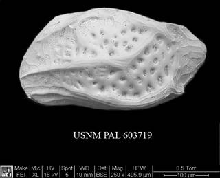 To NMNH Paleobiology Collection (Kangarina abyssicola USNM PAL 603719)
