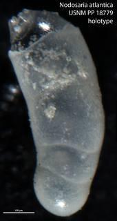 To NMNH Paleobiology Collection (Nodosaria atlantica USNM PP 18779 holotype)