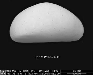 To NMNH Paleobiology Collection (Xestoleberis sp. a USNM PAL 594944)