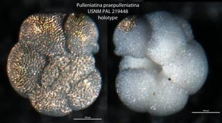 To NMNH Paleobiology Collection (Pulleniatina praepulleniatina USNM PAL 219448 holotype)