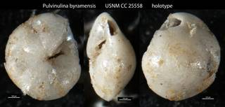 To NMNH Paleobiology Collection (Pulvinulina byramensis USNM CC 25558 holotype)