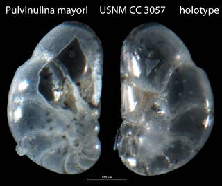 To NMNH Paleobiology Collection (Pulvinulina mayori USNM CC 3057 holotype)