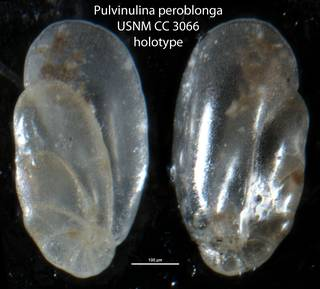 To NMNH Paleobiology Collection (Pulvinulina peroblonga USNM CC 3066 holotype)