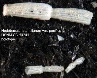 To NMNH Paleobiology Collection (Nodobacularia antillarum var. pacifica USNM CC 14741 holotype)