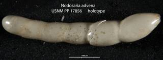To NMNH Paleobiology Collection (Nodosaria advena USNM PP 17856 holotype)