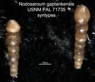 To NMNH Paleobiology Collection (Nodosaroum gaptankensis USNM PAL 71735 syntypes)