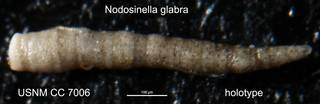 To NMNH Paleobiology Collection (Nodosinella glabra USNM CC 7006 holotype)