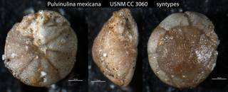 To NMNH Paleobiology Collection (Pulvinulina mexicana USNM CC 3060 syntypes)