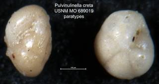 To NMNH Paleobiology Collection (Pulvinulinella creta USNM MO 689019 paratypes)