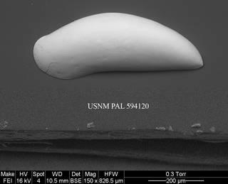To NMNH Paleobiology Collection (Argilloecia sp. 1 USNM 594120)