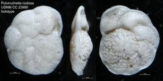 To NMNH Paleobiology Collection (Pulvinulinella nodosa USNM CC 23990 holotype)