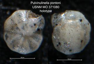 To NMNH Paleobiology Collection (Pulvinulinella pontoni USNM MO 371080 holotype)