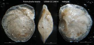 To NMNH Paleobiology Collection (Pulvinulinella texana USNM CC 24614 holotype)