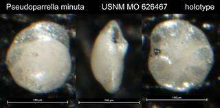To NMNH Paleobiology Collection (Pseudoparrella minuta USNM MO 626467 holotype)
