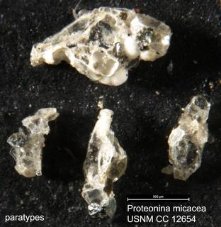 To NMNH Paleobiology Collection (Proteonina micacea USNM CC 12654 paratypes)