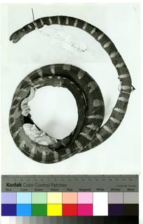 To NMNH Extant Collection (USNM 36637 lateral print 001 (AR502715))